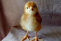 Chickens / Eggscellent chickens
