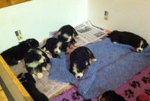 The babies-Bernese Mountain Dogs / The babies: Bronte and Tallis