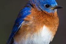 Bluebirds / by Laura Palka