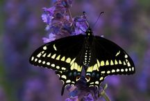 Butterfly Sightings / Pictures from Sightings, WeButterfly, and Butterfly Counts
