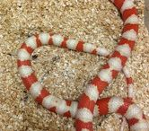 King Snakes / For our full selection of King Snakes visit: http://bhb-reptiles.myshopify.com/collections/king-snakes