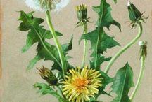 Pampelišky - dandelion