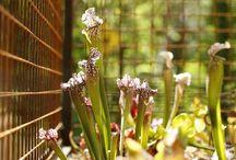 Plants - Carnivorous / Plantes Carnivores