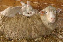 Sheeps my love