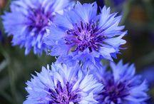 kwiat chabry