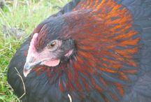 Black copper marans - Slovakia