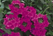 Stunning Perennials for low maintenance / low maintenance plants, easy care plants, newer plants, not your grandmother's plants.