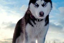 Husky dream one day :) / When life is right i Will adopt