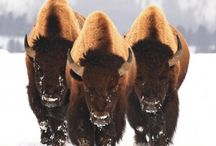 Bison/Buffalo / by Earth's Hope