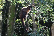 Macaco-prego / Natureza