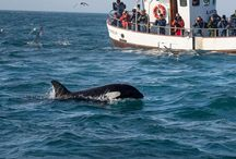 Whale Watching in Iceland / Whale watching in Iceland is an activity quickly gaining in popularity. Travel with Ker & Downey to experience whale watching in Iceland in style and luxury aboard a private traditional schooner.
