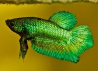 betta fish (cupang)