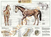Veterinary Charts - Vet Posters - Animal Charts / Browse our range of #veterinary charts and posters, including titles on #equine, #bovine, #canine and #feline #anatomy. Our vet posters are laminated and ideal for display in the clinic, stable or home: