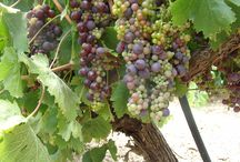 Grape maturation / Grape maturation