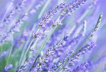 Sommer blomster / Lavendel