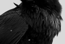 corvids / corvids