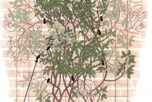 Clematis / Clematis vines