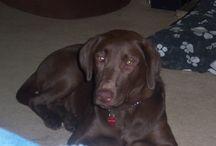 Labradors Worldwide / All Labradors (including Labrador mixed breeds)