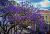 Jakarandy na ulicach Lizbony / Jakarandy to w opiniu wielu najpiękniejsze drzewa placów i ulic Lizbony. Zobaczcie, jak pięknie wygląda Lizbona, gdy jakarandy kwitną na przełomie maja i czerwca: http://infolizbona.pl/jakaranda-drzewo-lizbona-portugalia-foto/  #Lizbona #Portugalia #Portugal #jacaranda #Lisbon