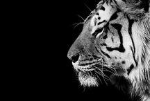 王大 - Amur tiger