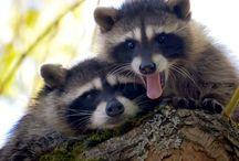 Animals: Raccoons