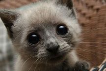 More Cats, Puddy Tats, Le Chat, die Katze, der Kater, puss, tom... / gato, biladi, gatz, katsi, wesa, maa-oh, meo, pusa, pisica, koshka, marjara, felino, felina, katt, busi, chatz, maow, pussi, piscin, billy, kissa, kottur, gatto, neko, shimii, kot, kotka, kedi, kotuk, kats, ikati, poonai, paka, cath, minoos, gnari fula, miz, qattus, qattusa, poocha, katma, kayangi, bekku..... KITTY!!