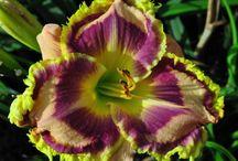 Flower WL Daylilies