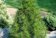 CONIFERS &  PINES