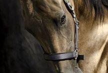 Les chevaux Akals Tékés / Voici, une race très différente ...