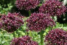 Allium Bulbs / Alliums are also known as ornamental onions because they belong to the same family as garlic and the onion that we eat. Available in many different varieties, sizes and heights. Alliums also retain their show value after the colorful flower has bloomed, as you can dry the flower head and include it in a pretty bouquet. If you plant alliums now, you'll enjoy them for many years to come, because they return every year.