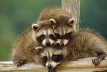Ricky raccoons / by Mitzi James