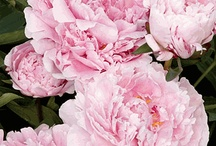 Peony Flowers  / Peony Flowers for Weddings...home decorating....just for fun