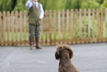 Gundog training