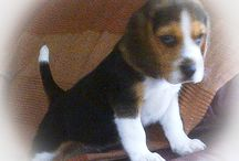 Baxter Beagle, Milo Biewer Terrier,