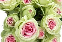 Favorite Color Rose