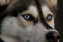 Huskies ♥