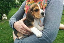 Pauline, die Beagle-Dame