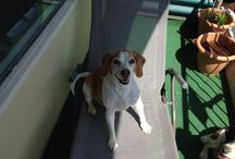 Beagle Lover..!! / It's all about Beagles!