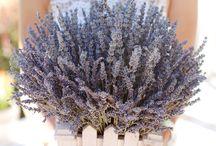 Lavender in the interior