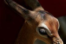 Animals:  Antelopes, Deer, Grazers