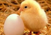 Chickens  / Things to know about having chickens
