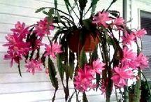 Orchid cactus ;epiphyllum.