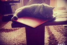 Charlotta ** / Charlotta British cat