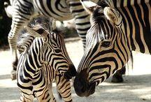 zebra stripes / by MacKenzie