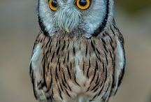 Owls & ravens