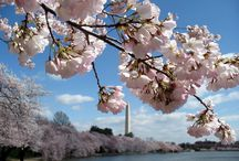 Beautiful Blossoms / Follow us as we get ready for Cherry Blossom season in the District.