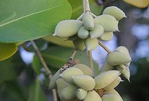 Laguncularia / Botanical Taxonomy