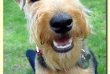 Dog Love / dogs, airdale terriers, welsh terrier