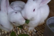 Rabbit info