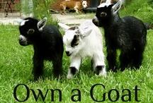 Kuzular,Koyunlar ve büyükbaş hayvanlar